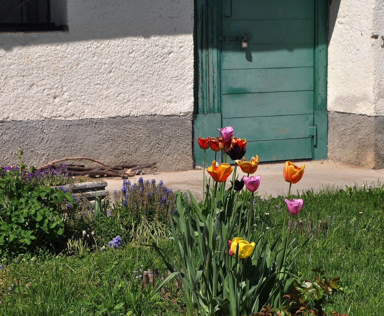 Öreglaki tulipánok