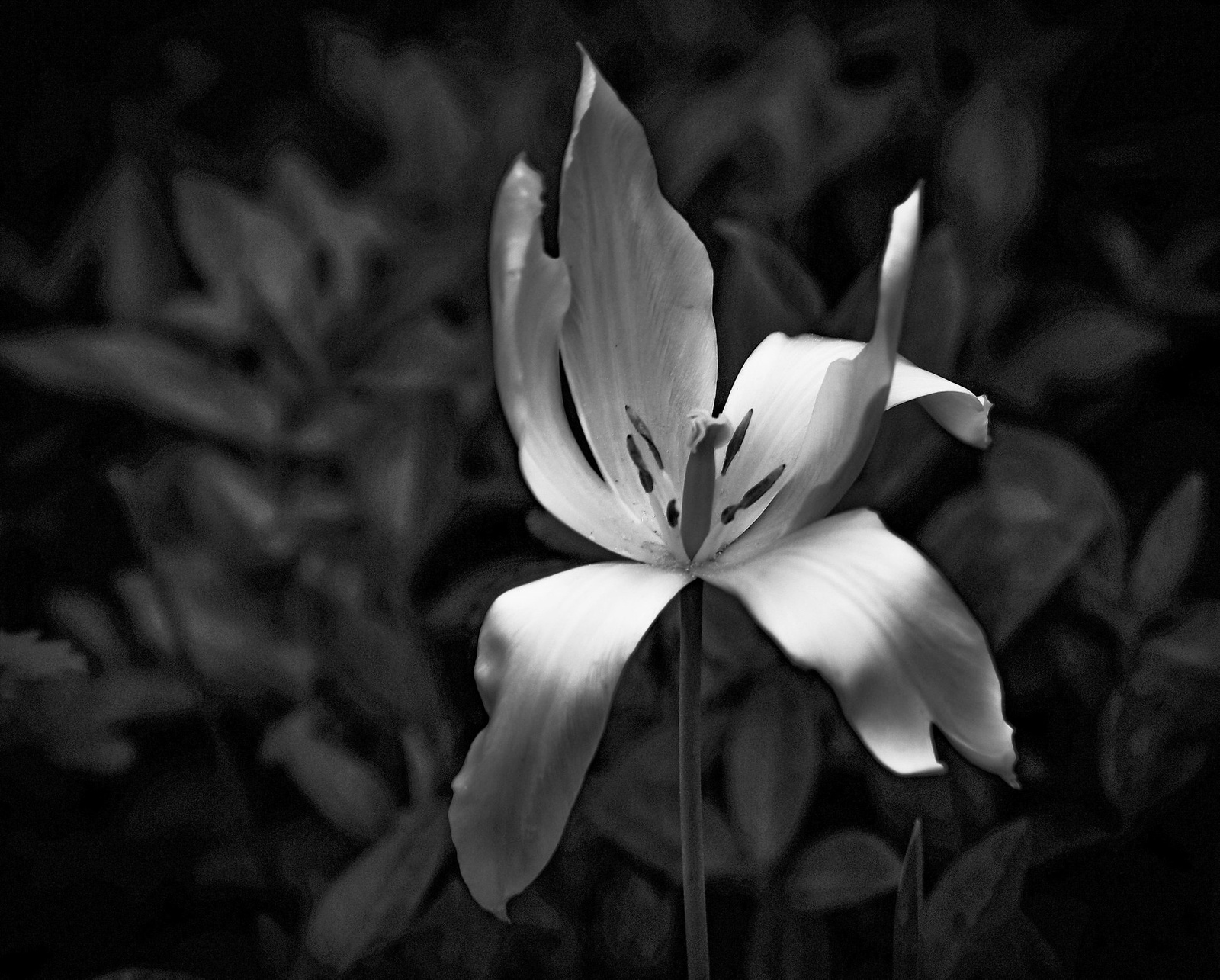 Elnyílt tulipán