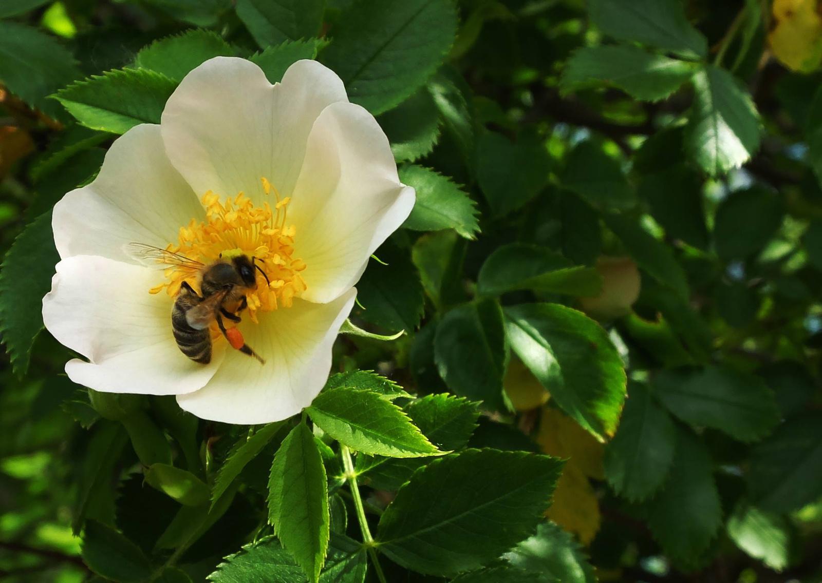 Vadrózsa Méhecskével