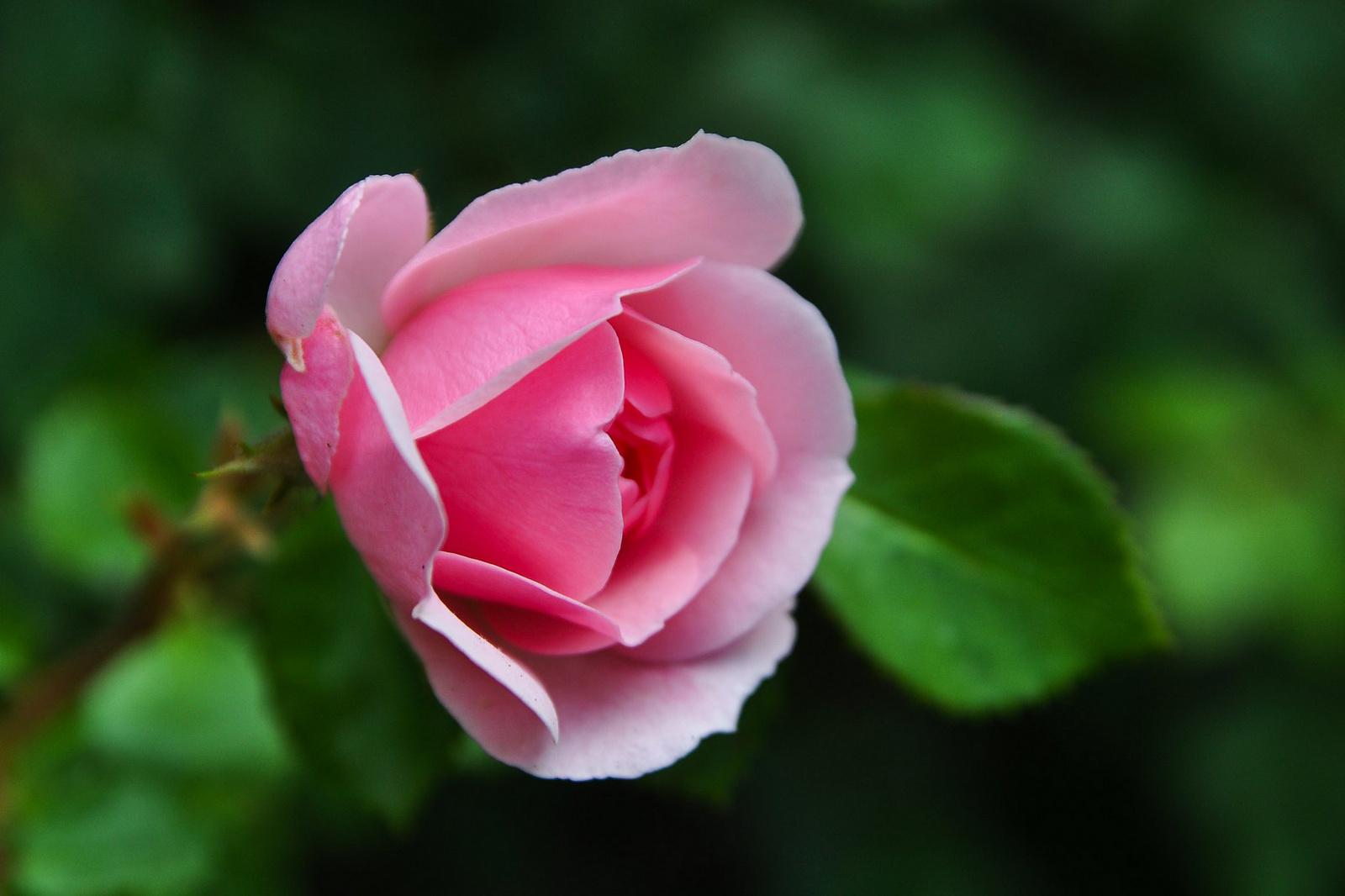 Egy szál rózsa NNNNN