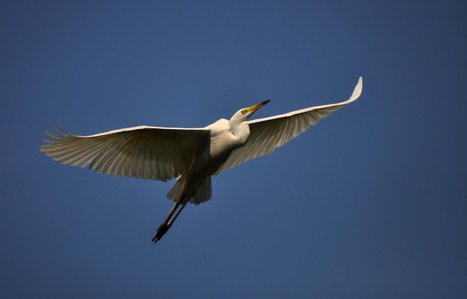 Nagykócsag, az égi madár