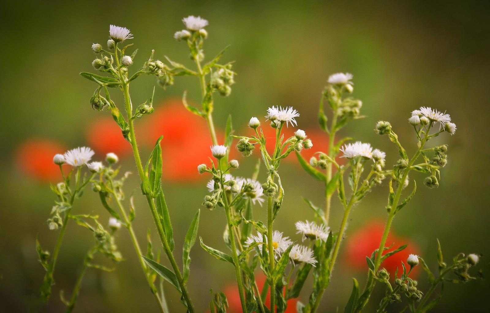 Pipacsok között kis virág