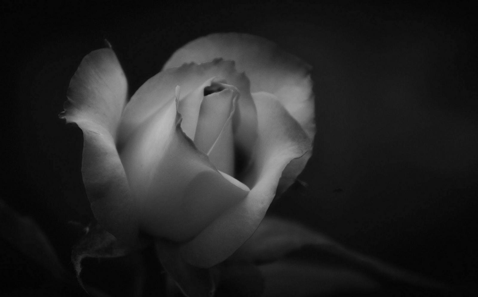 Rózsám FFFFF