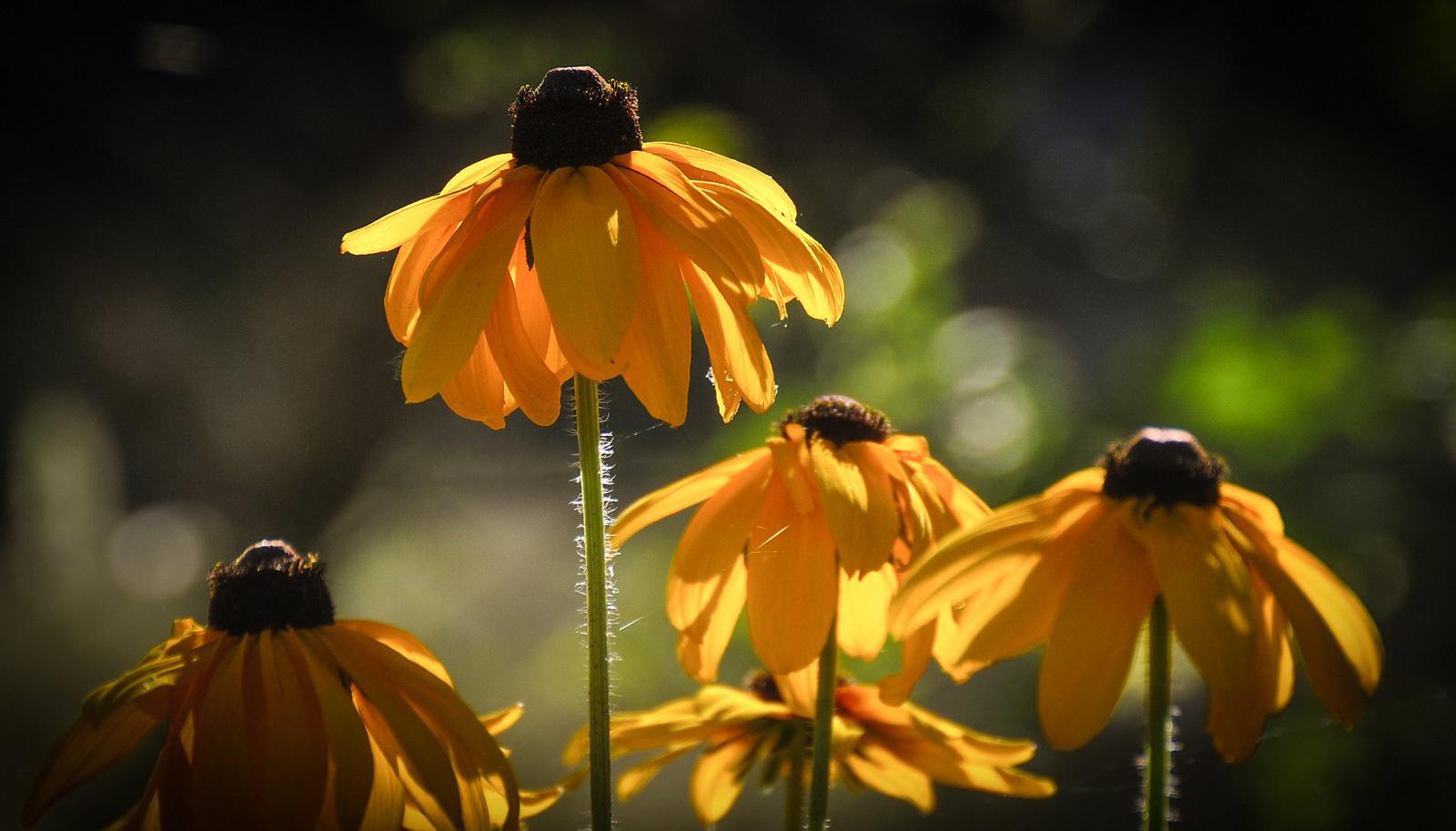 Reggeli napfényben csicsókavirág