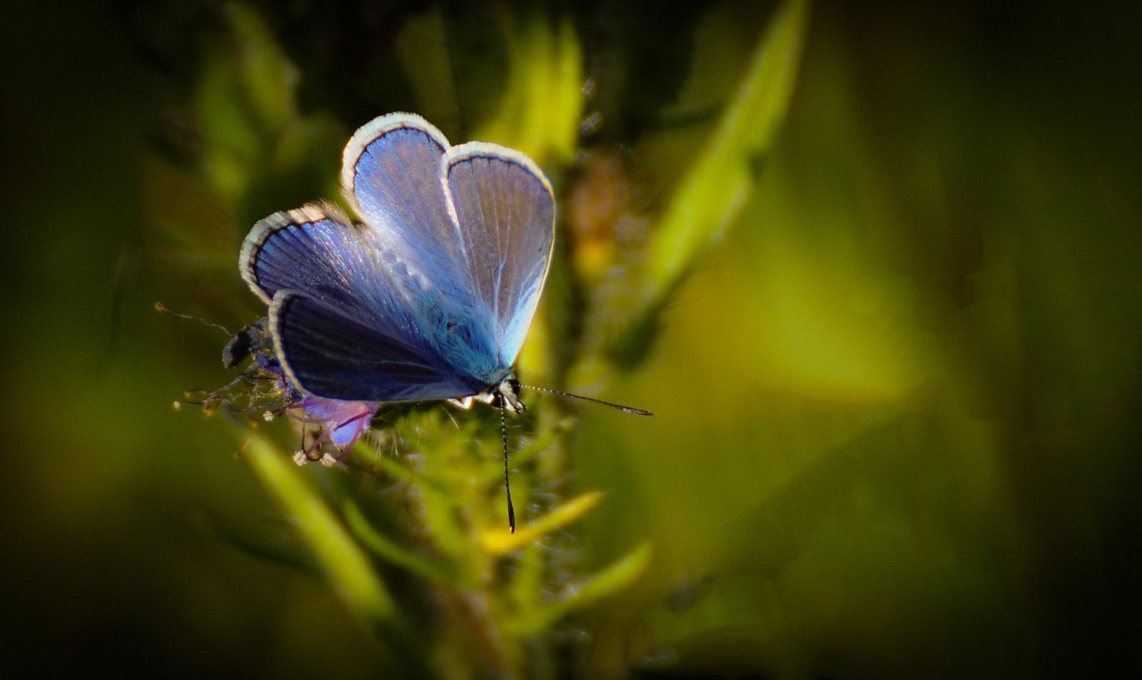 Kis kékLepke