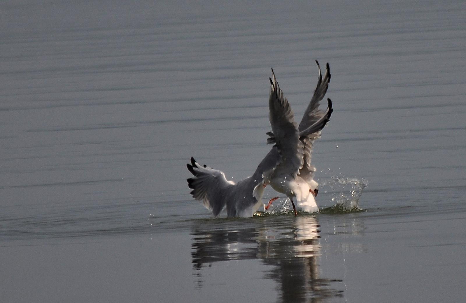 Harc a halért