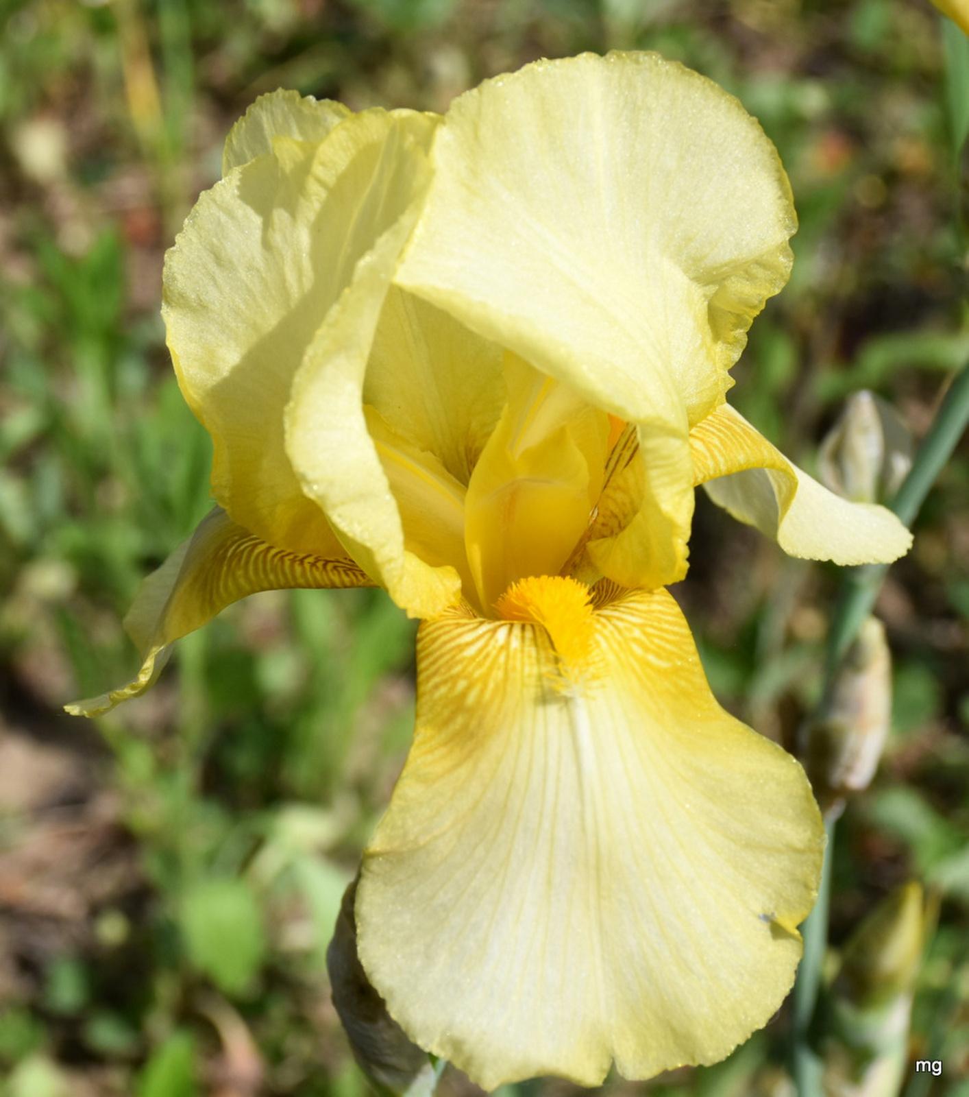 Halvány sárga