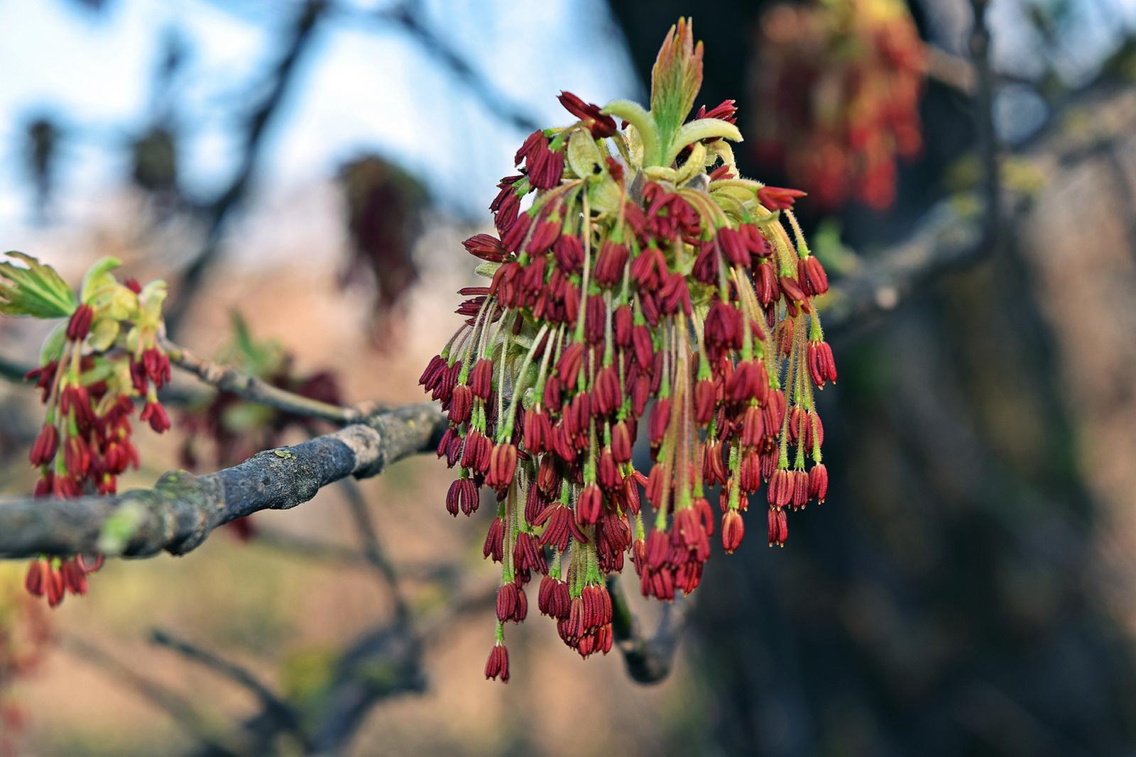 Kőrislevelű juhar virága