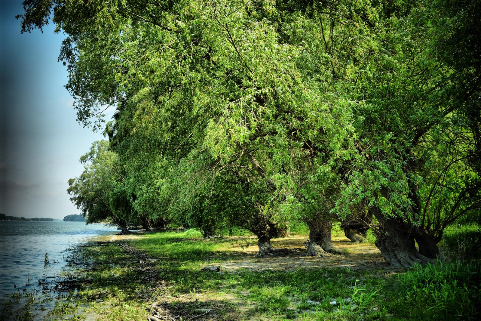 Duna-parti fák