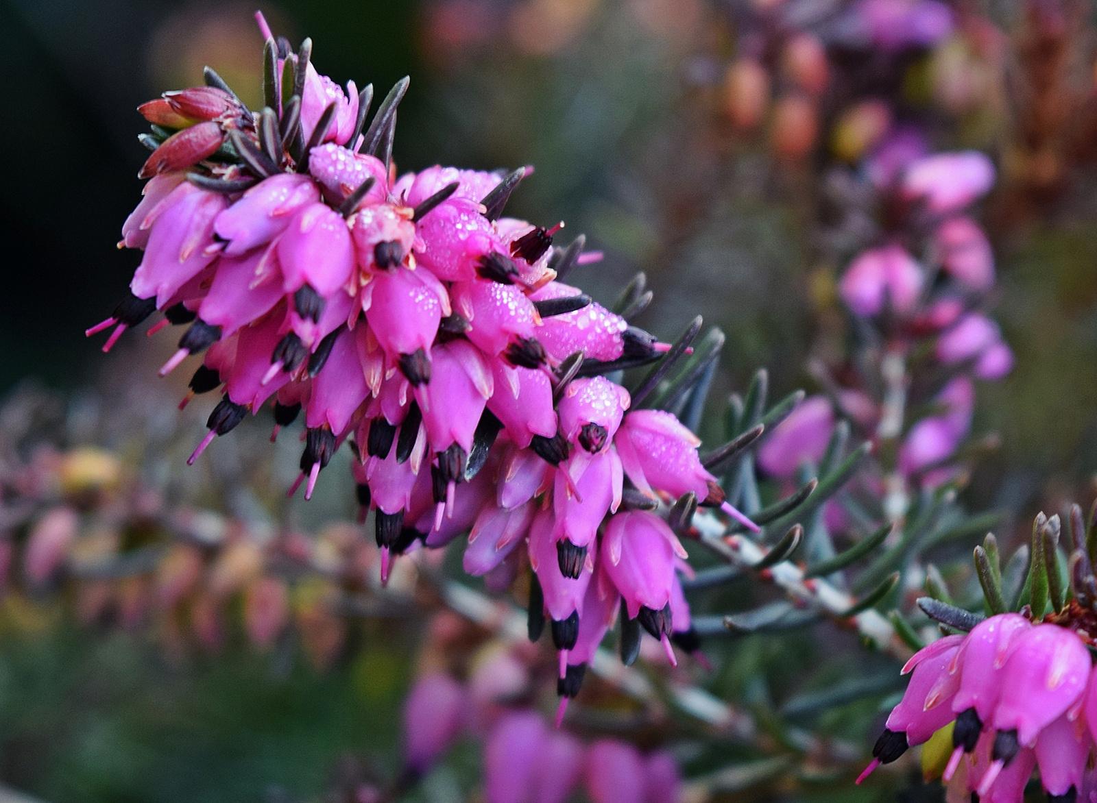 Seprűvirág