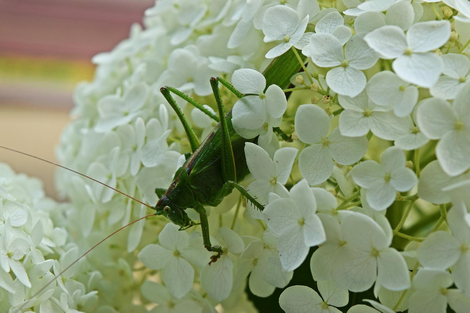 Lombszöcske a hortenziában