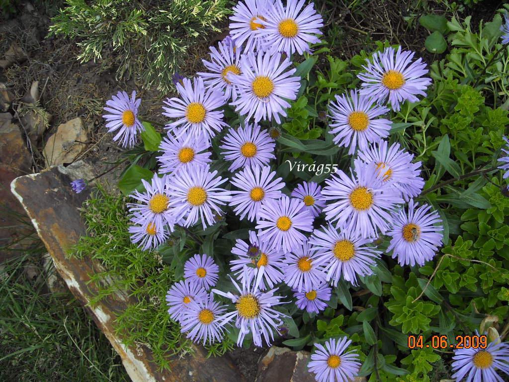 aster (lila marg.)