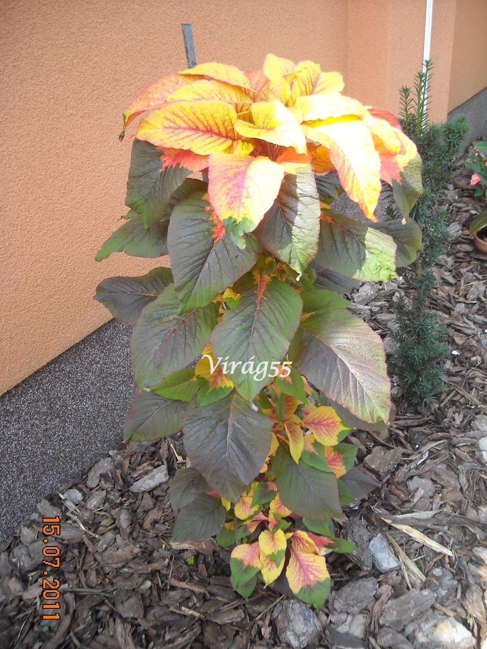 Amaranthus 009