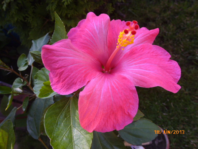 06.16 019 magonc 3.sz első virága