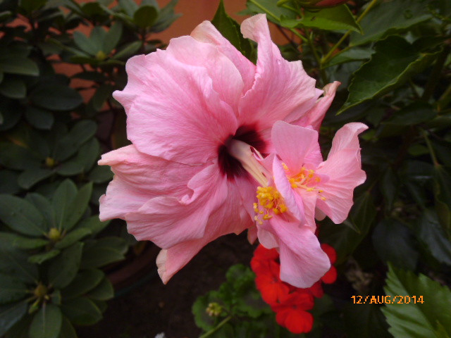 classic rózsaszín