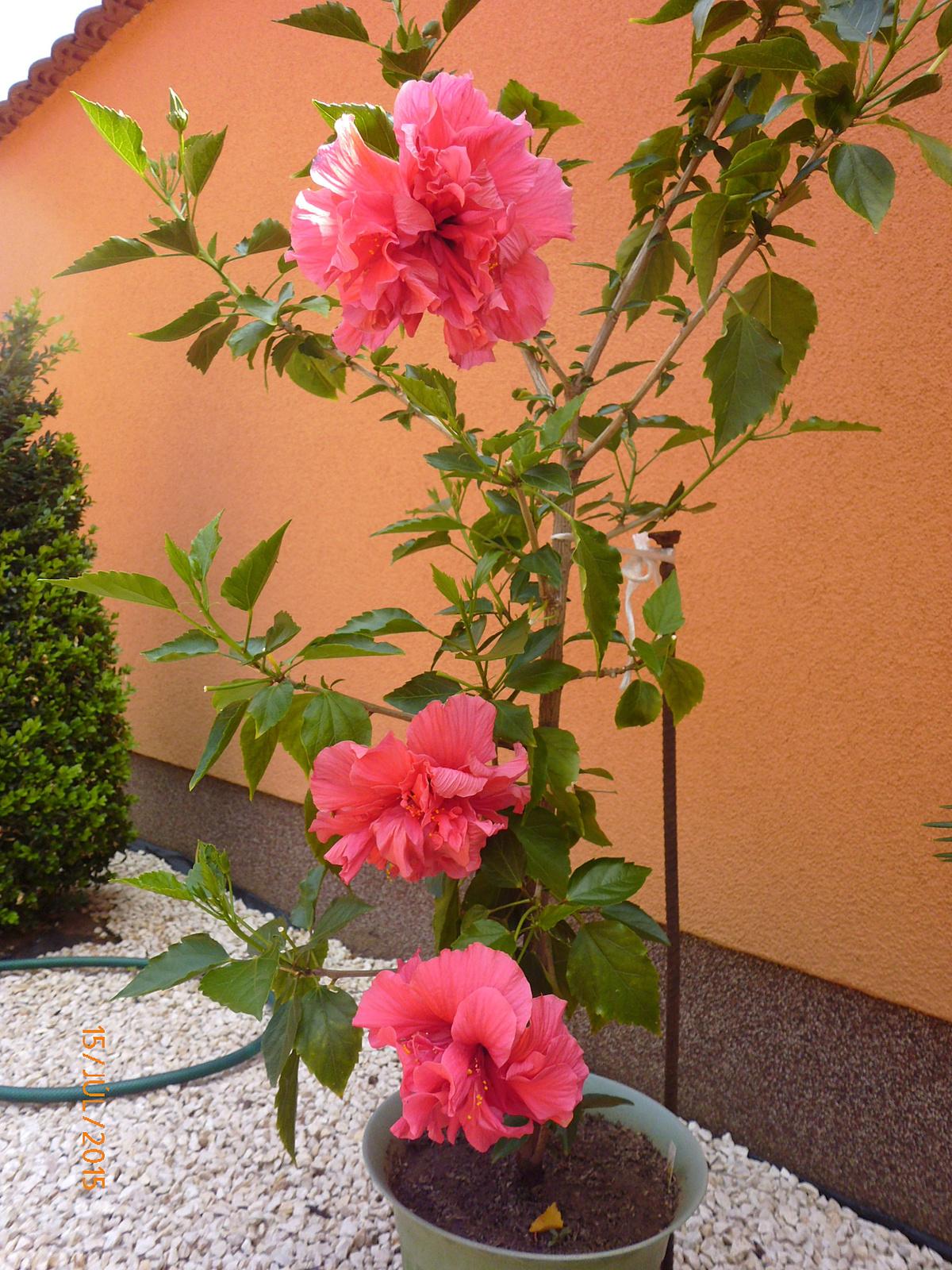 Classic rosa P1030021