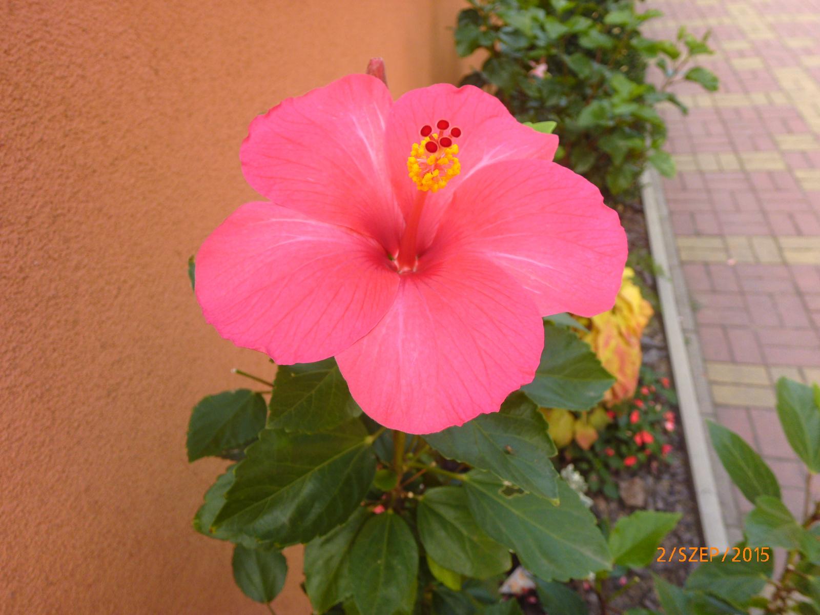 pink magonc P1030171