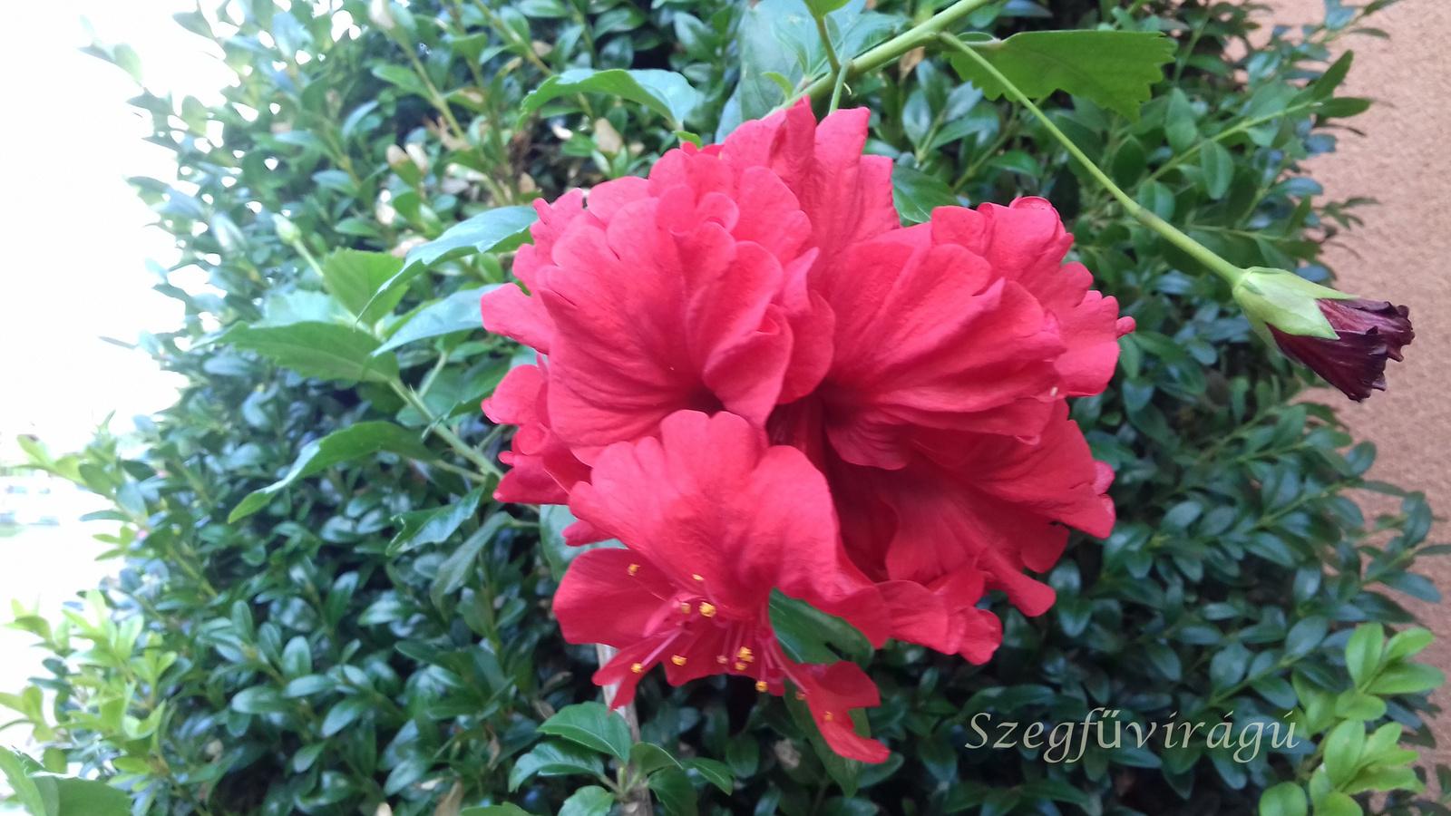 Szegfűvirágú