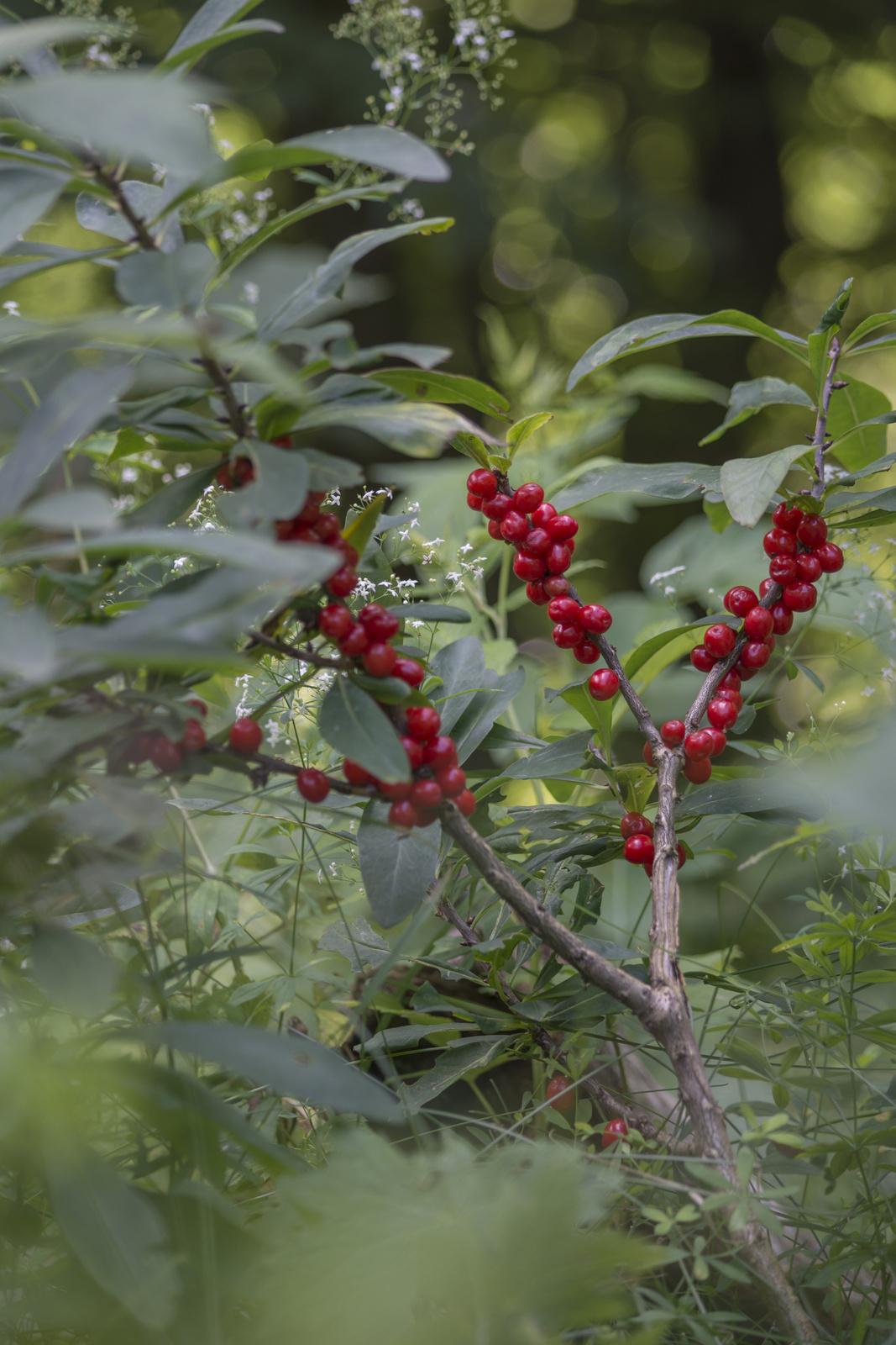 Farkasboroszlán termése