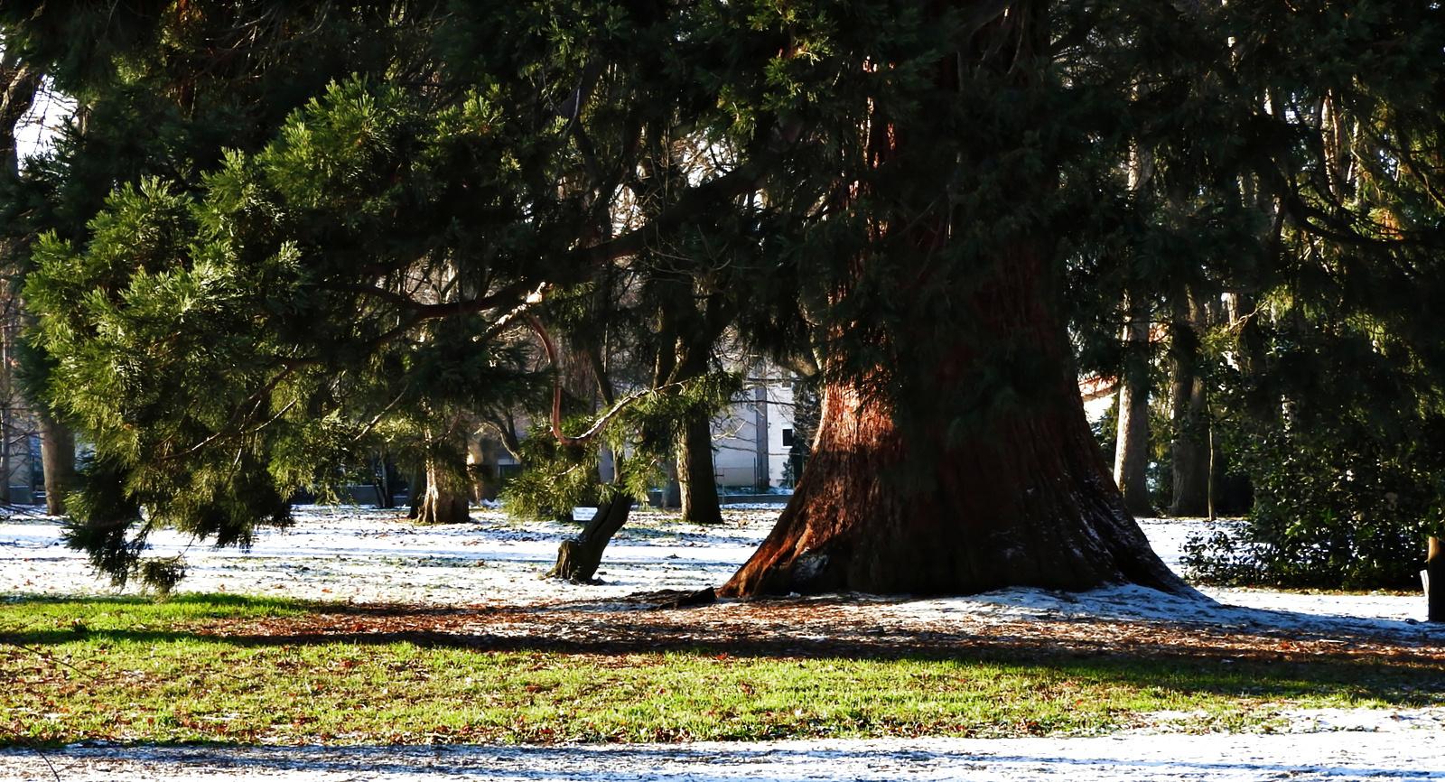 Erzsébet-kert Mamutfenyő Tél