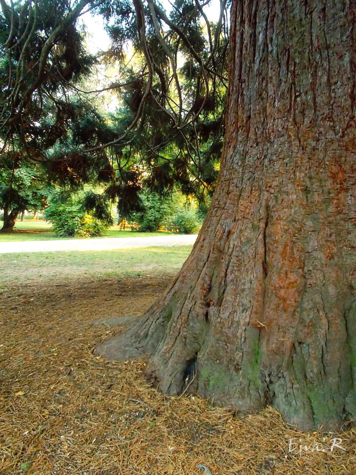 Az óriás mamutfenyő törzse (Sequoiadendron giganteum)