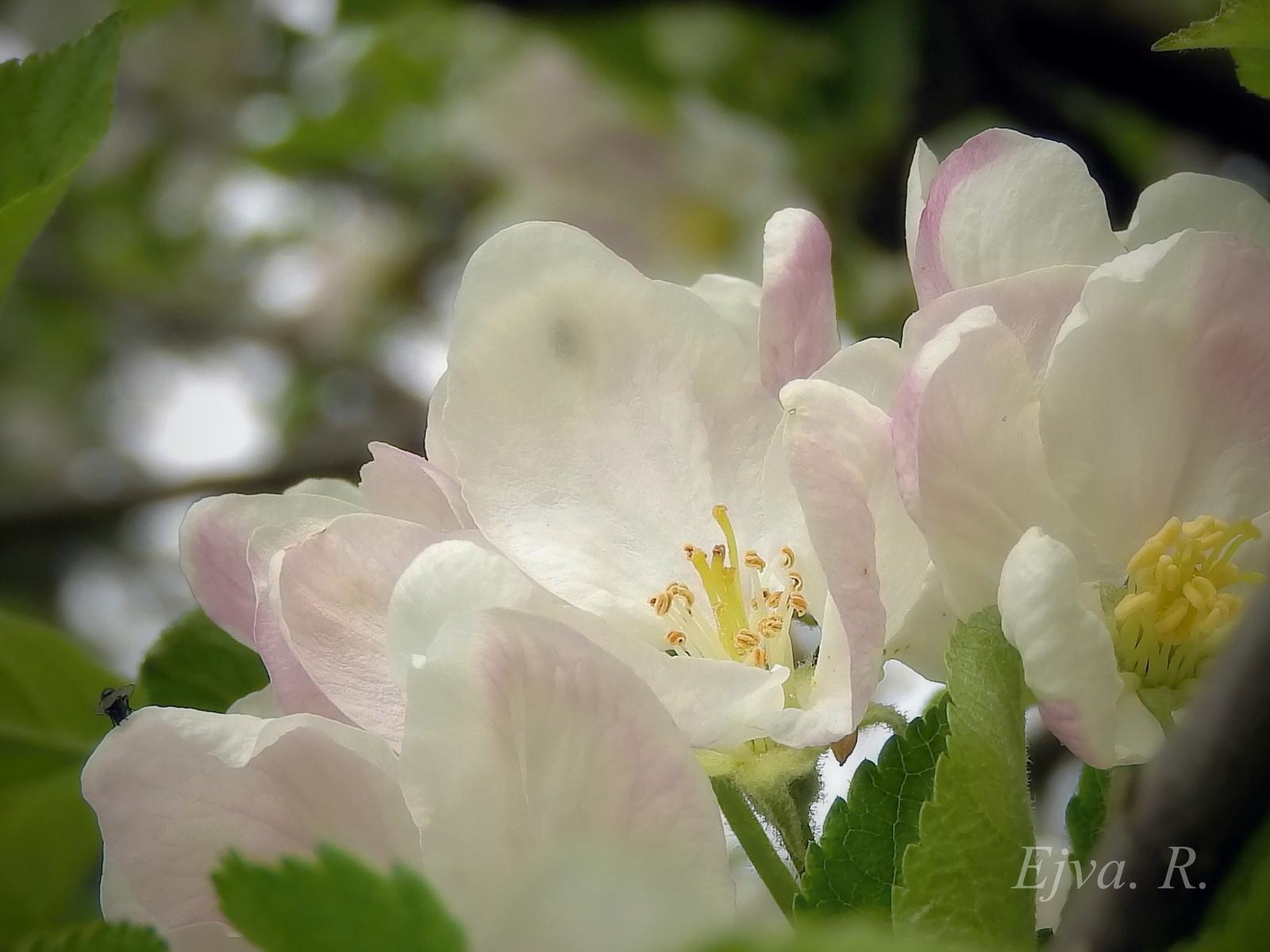 Almafa virága