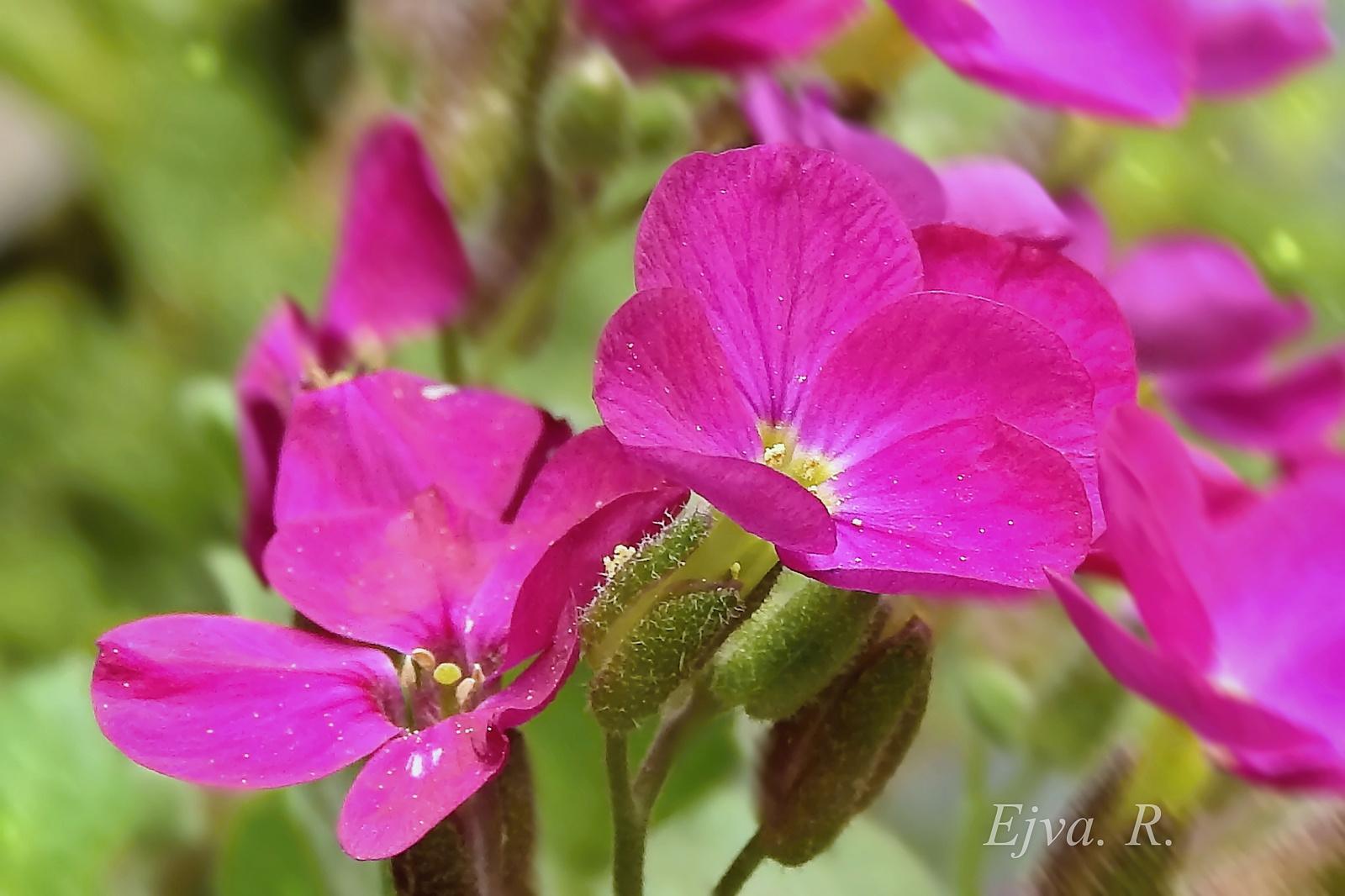 Pázsitviola (Aubrieta x cultorum)