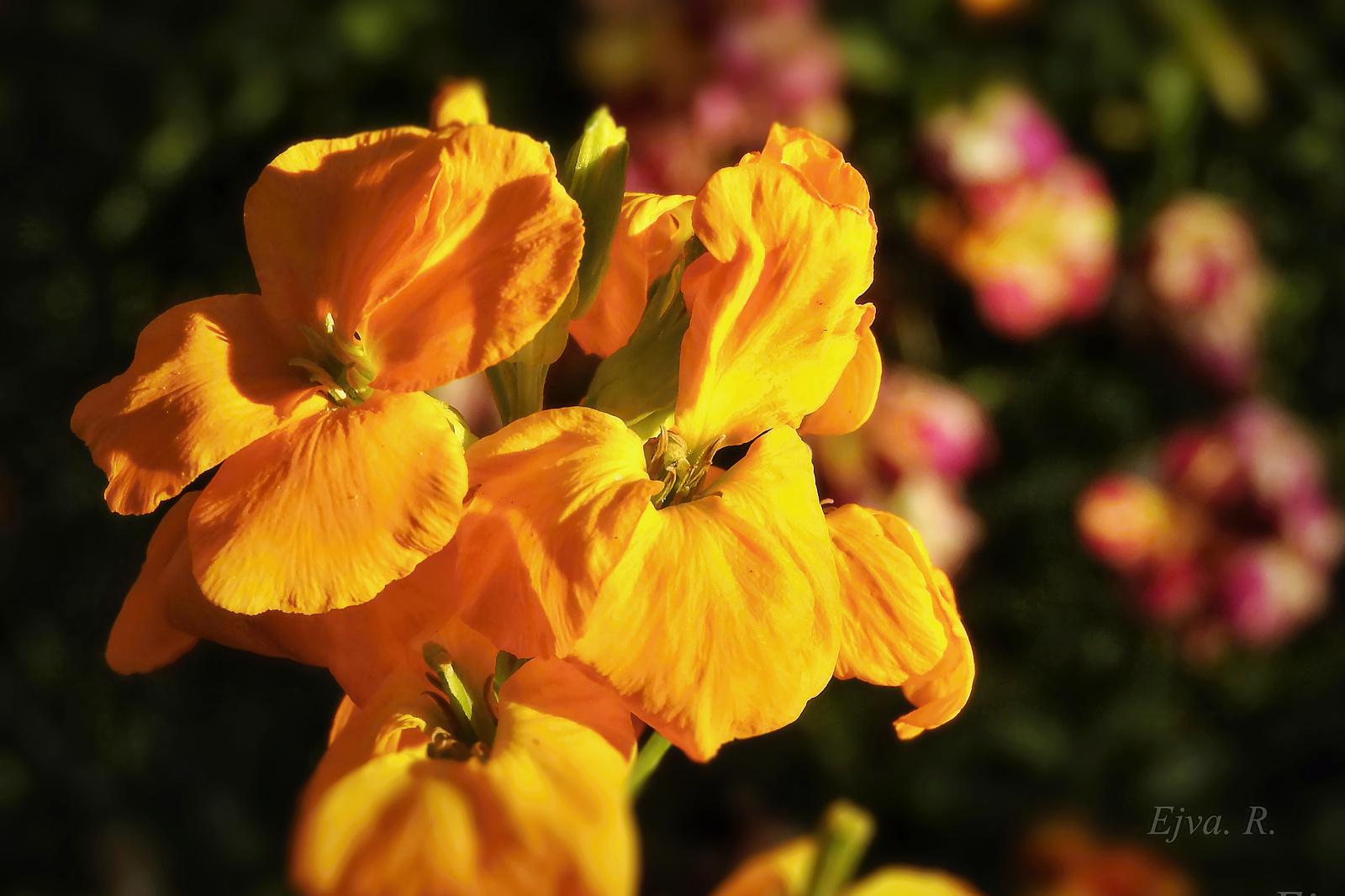 Viola (Cheiri)a lemenő nap fényében
