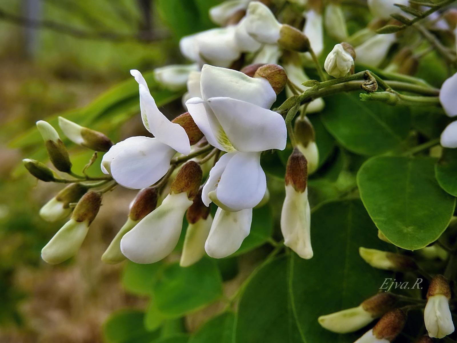 Fehér akácvirágok
