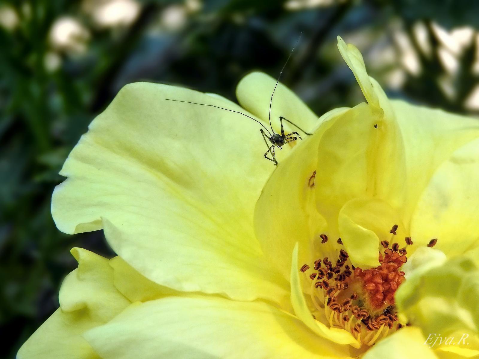 Rózsa Pózoló rovar