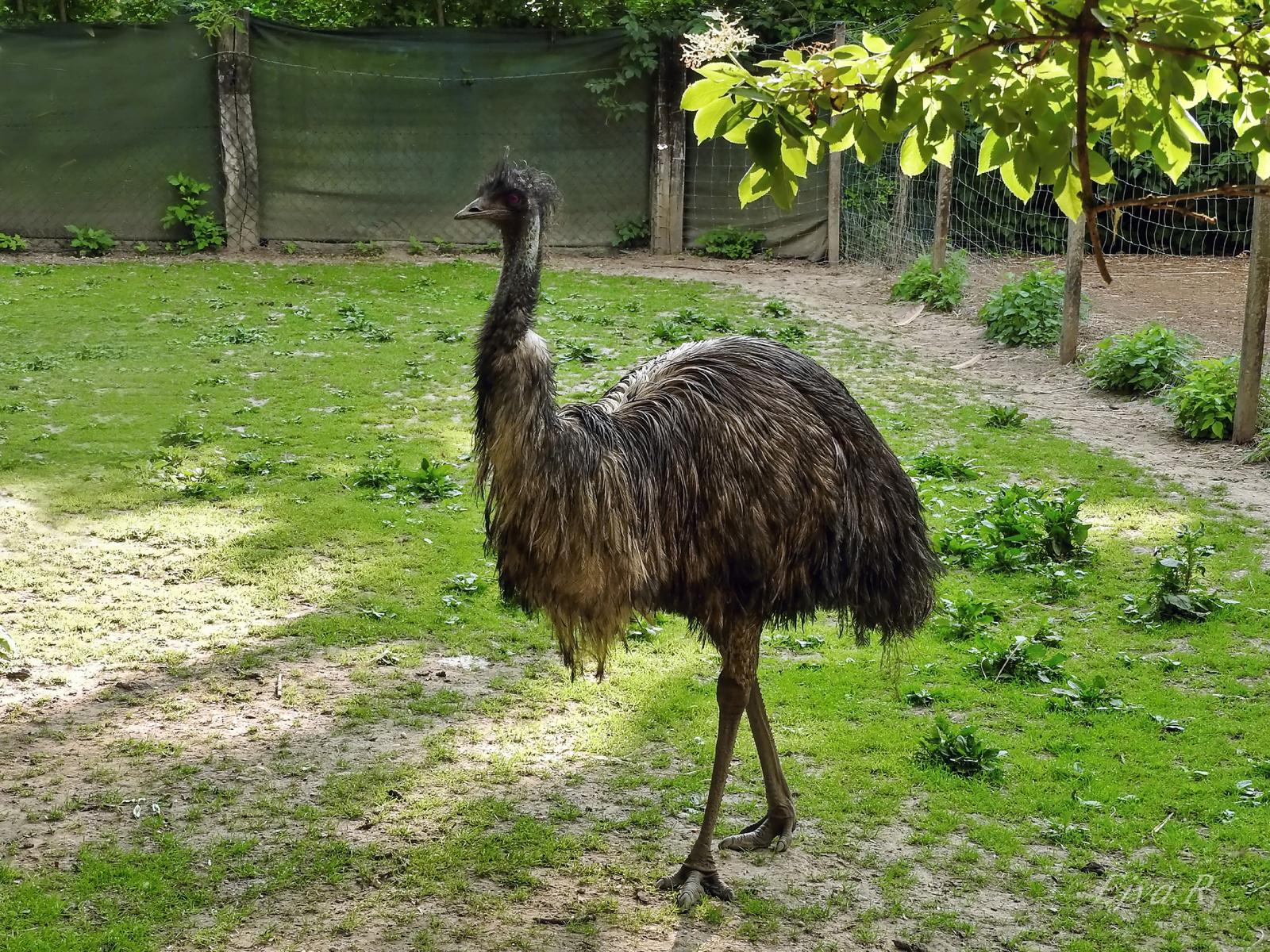Az emu (Dromaius novaehollandiae)