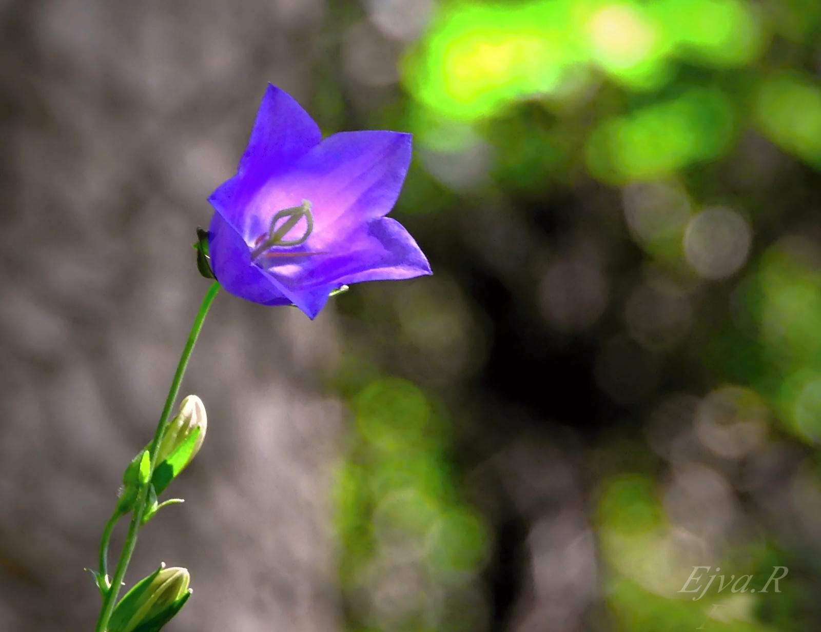 Erdei virág Alpok Kárpáti Harangvirág (Campanula carpatica)