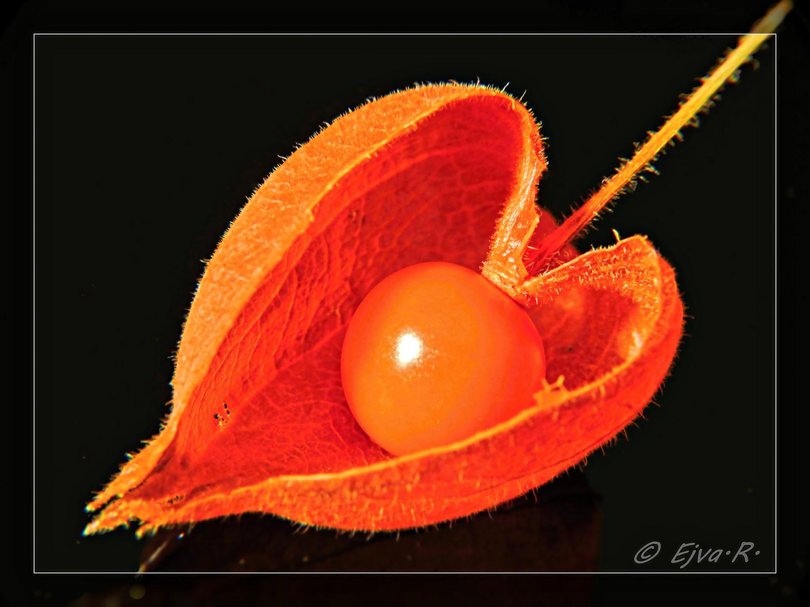 Szívesen :) Lampionvirág gyümölcse (Physalis alkekengi)