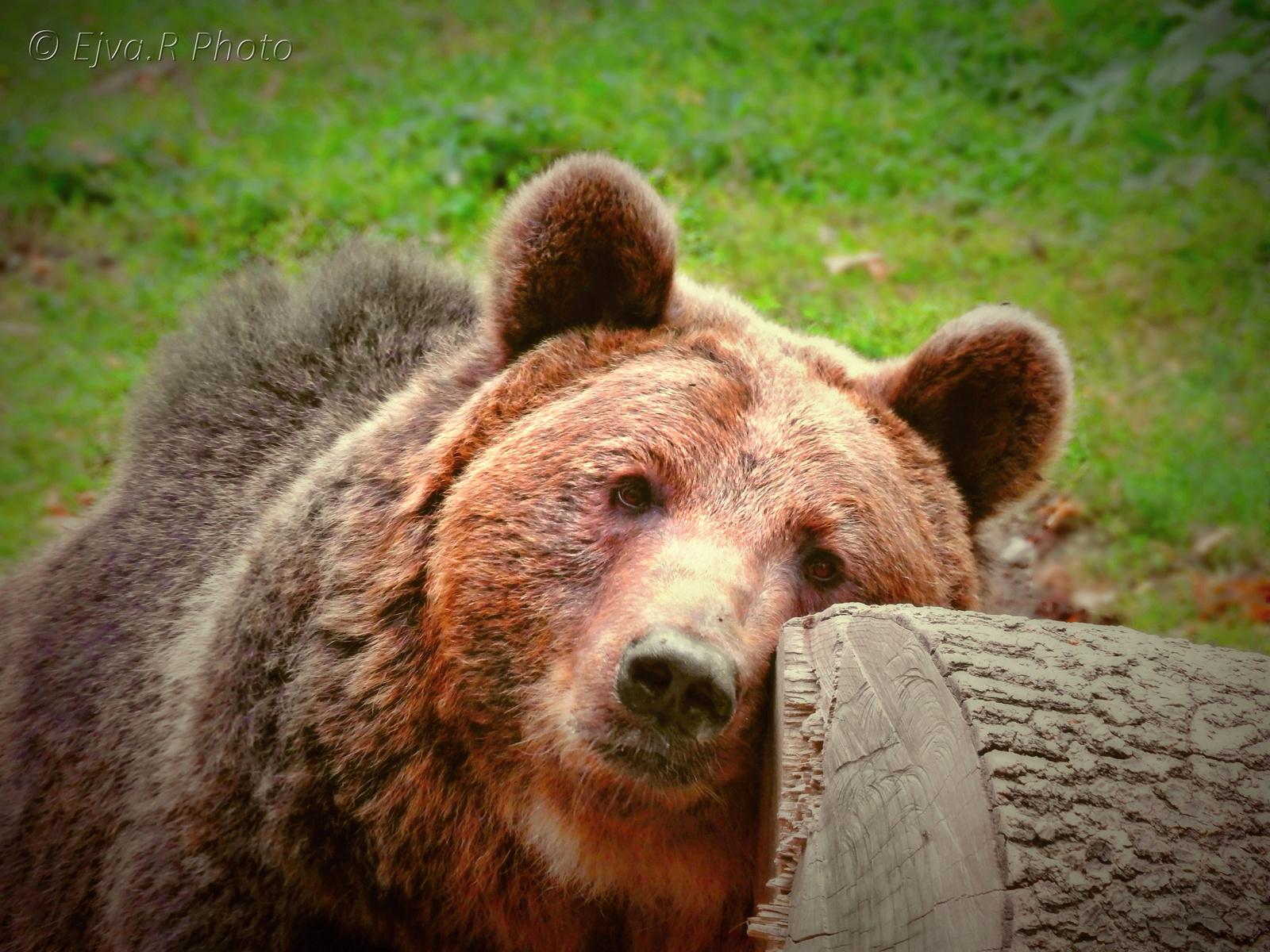 Álmos maci /A barna medve (Ursus arctos)
