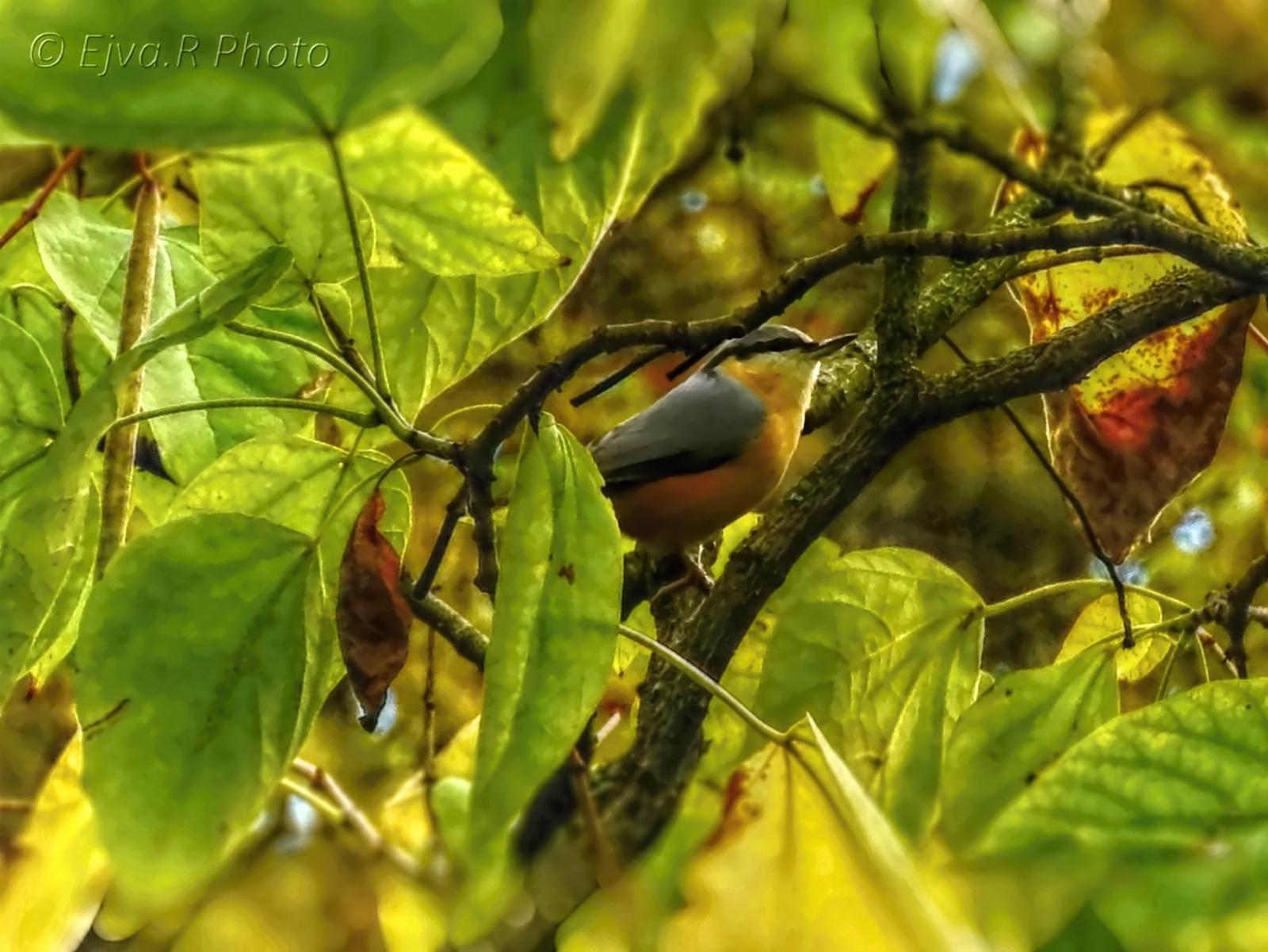 A csuszka madár elbújva (Sittidae)