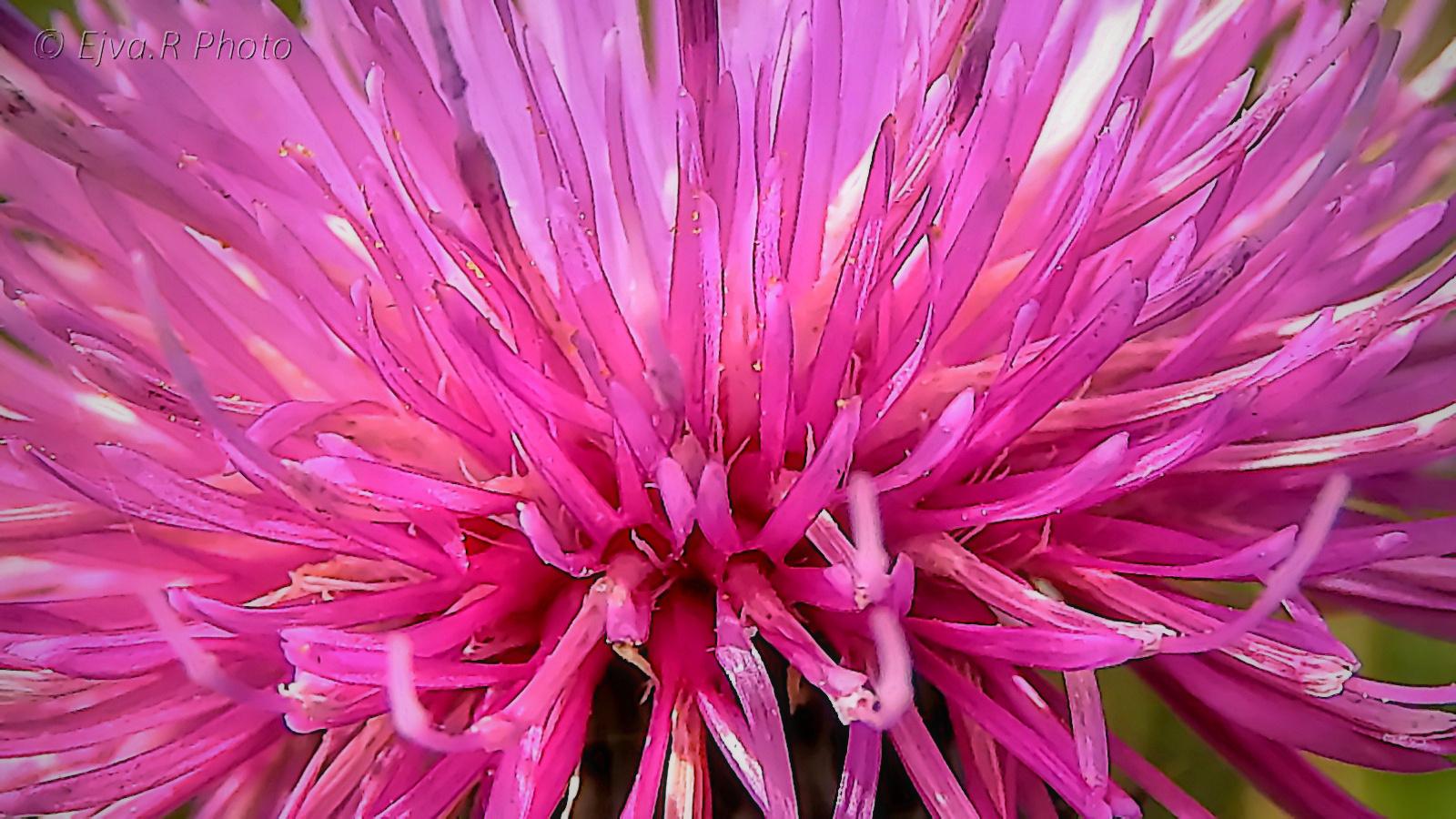 Magyar bogáncs virág ( Carduus collinus)