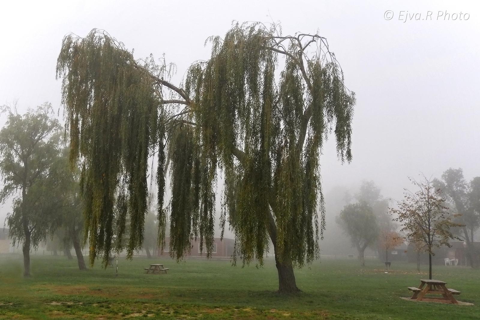 Köd a strandon/ Fűzfa