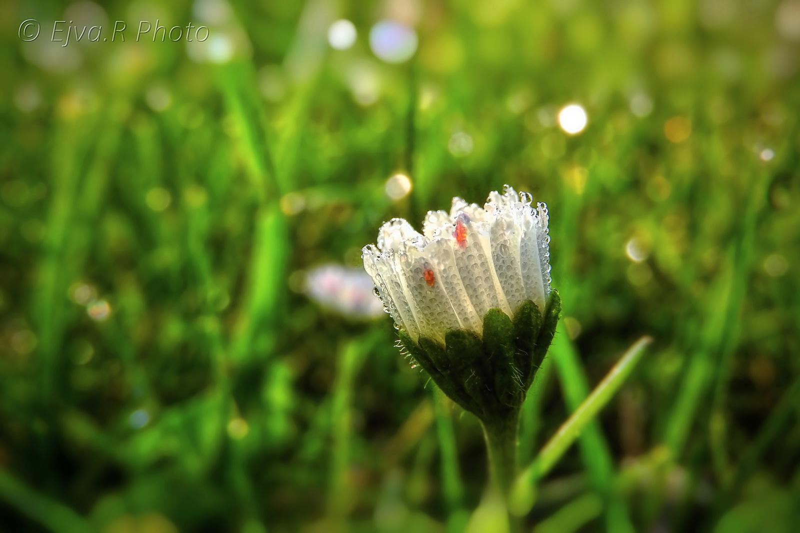 Harmat Reggel Virág Erzsébet kert