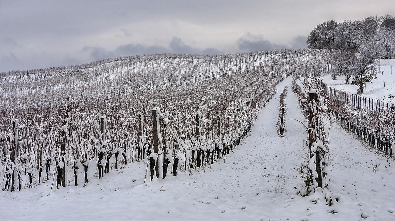 Téli szőlőskert /Ültetvény