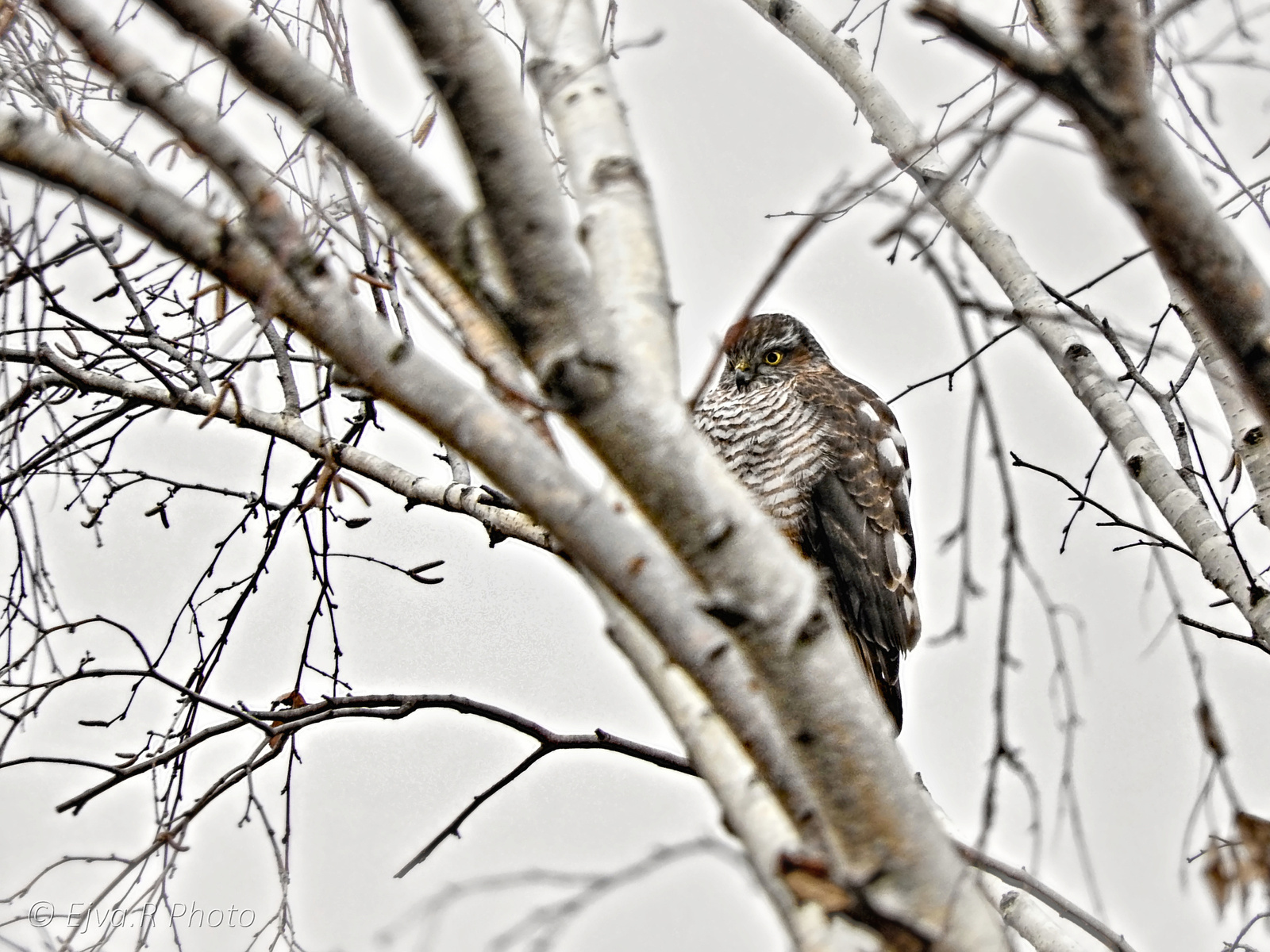 A karvaly (Accipiter nisus)