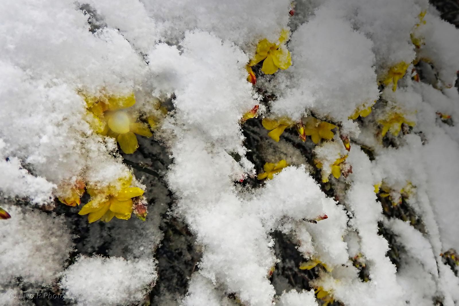 Téli jázmin Január