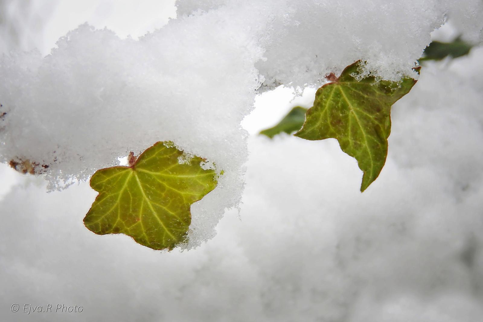 A két levélke Hó Tél
