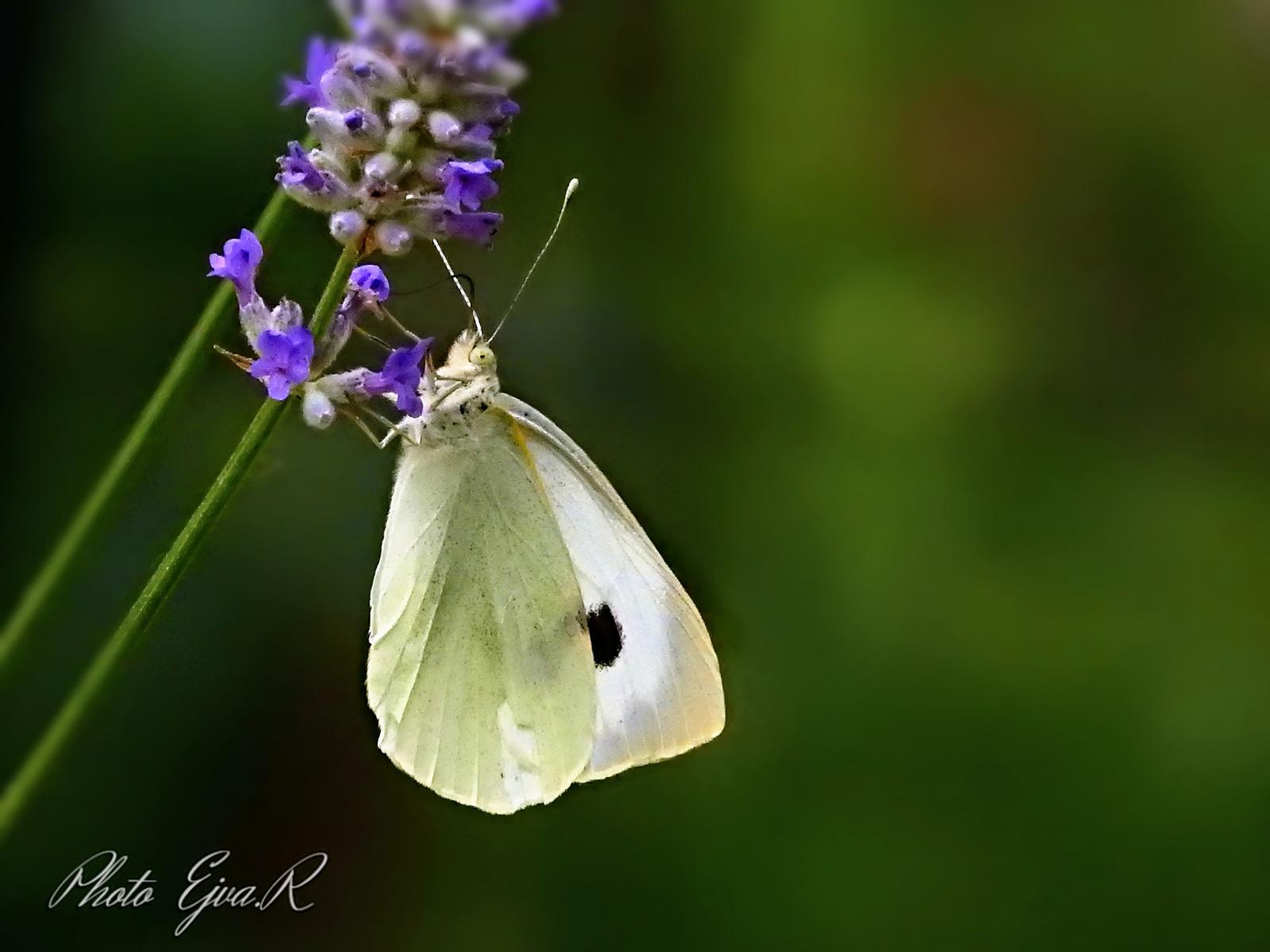 Pillangó lepke