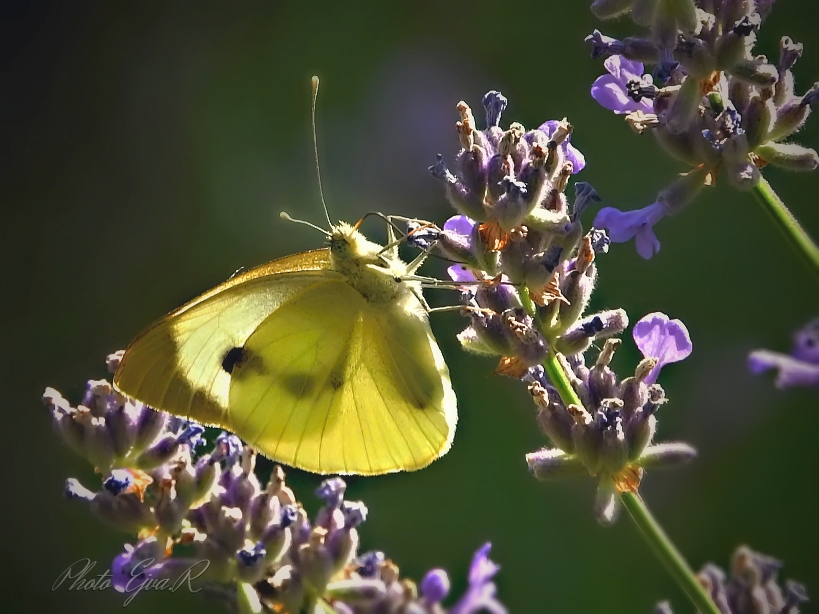 Lepke Pillangó Levendula