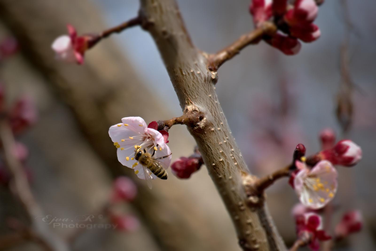 Gyümölcsfa virágok Méhecske