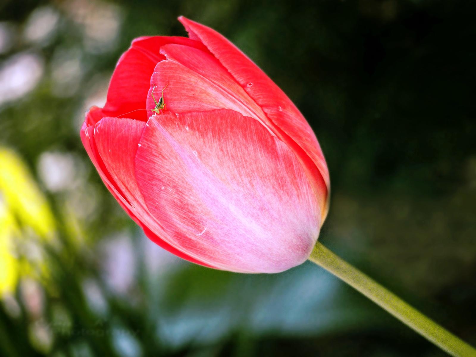 Nagy tulipán :)