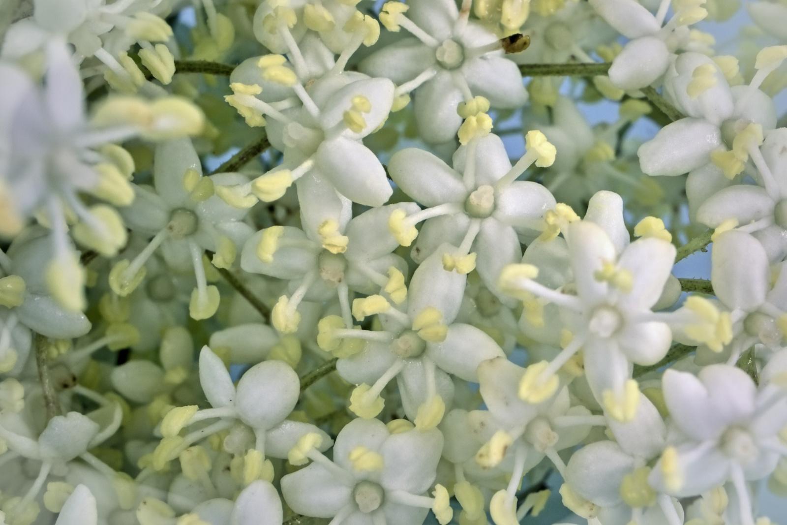 A bodza virága