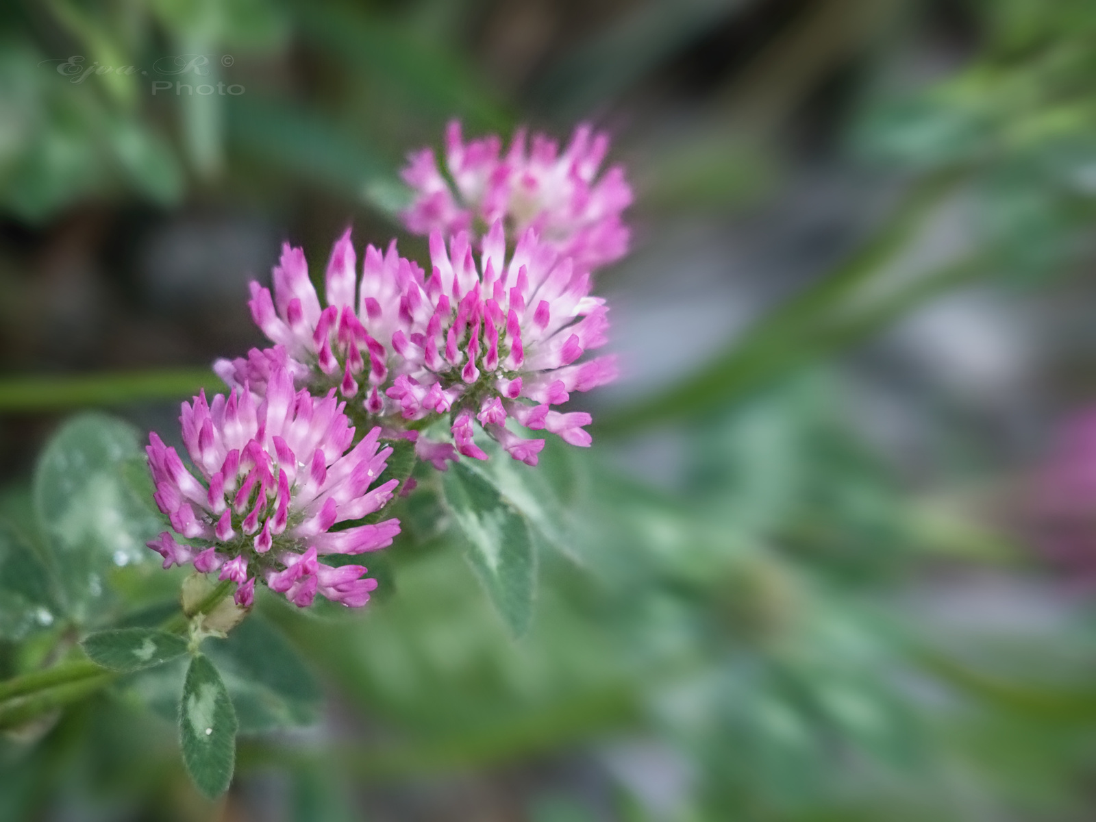 A réti here (Trifolium pratense)