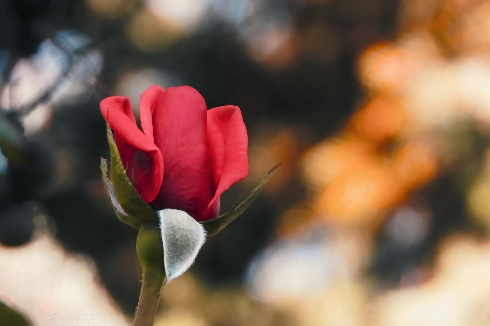 Rózsa Ősz