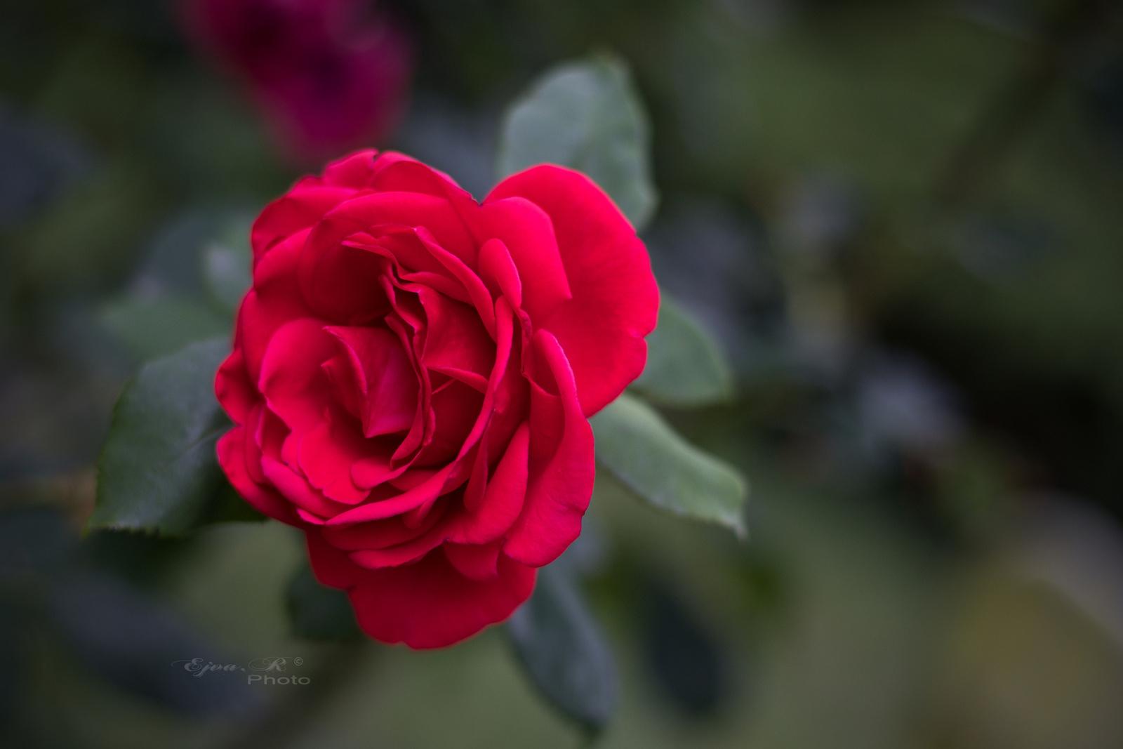 rózsa piros virág